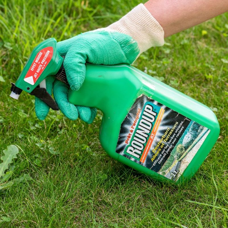 A home gardener sprays the herbicide glyphosate from a bottle of Roundup weedkiller.